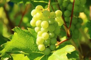 D-RISK assurance viticole
